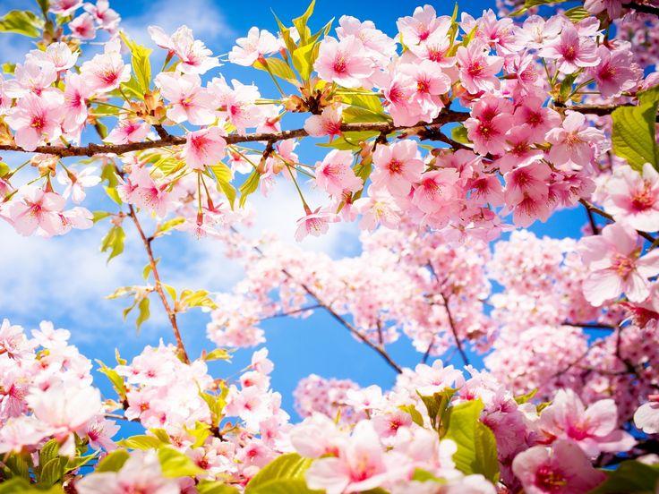 cherry blossom spring (1920×1440)