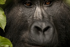 Passage To Africa - Bwindi impenetrable Forest - Uganda #Gorilla