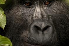 Passage To Africa - Bwindi impenetrable Forest - Uganda #Gorilla