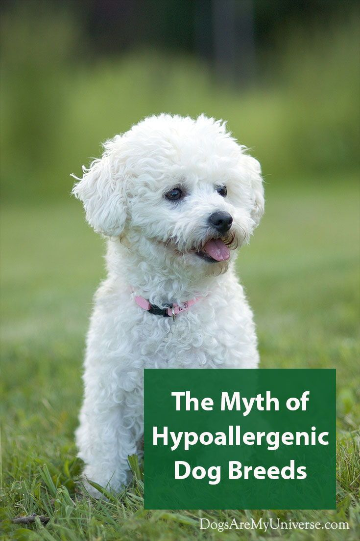 Are Any Dogs Really Hypoallergenic Bichon Frise Dogs