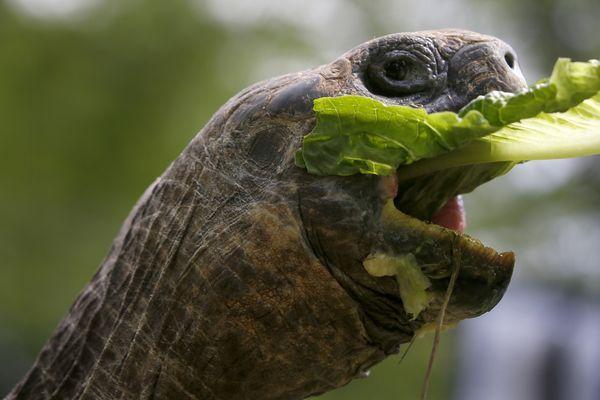 Una tortuga de Galápagos de 20 años de edad toma un bocado de lechuga en Pittsburgh. Las tortugas que llegaron al zoológico nacieron en 1992, y pesan 160 y 120 libras. (AP)