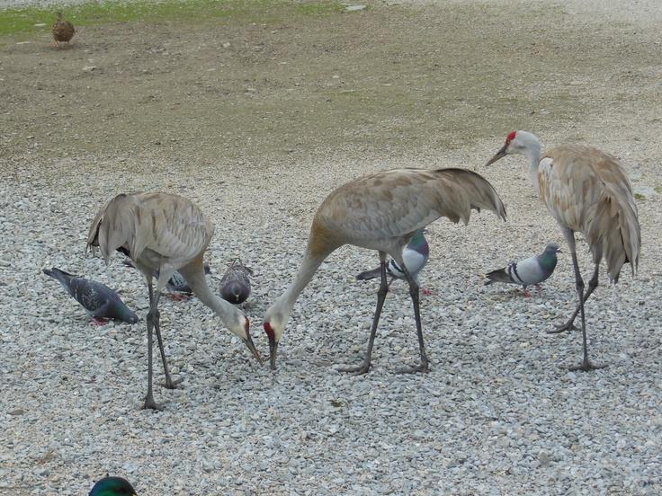 Sandhill Cranes at the Reifel Bird Sanctuary in Ladner, B.C.