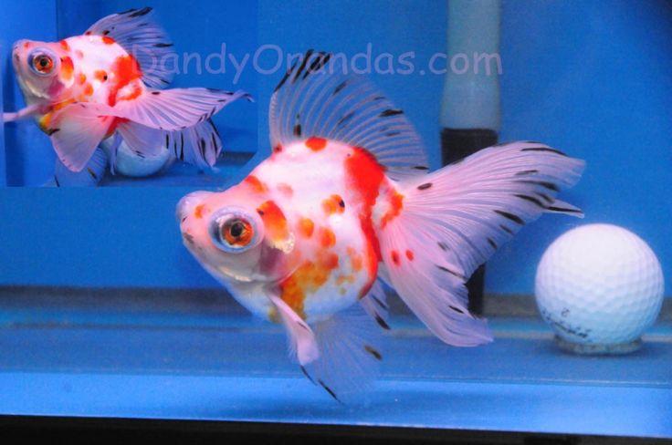 Les 104 meilleures images du tableau goldfish sur for Poisson rouge koi aquarium
