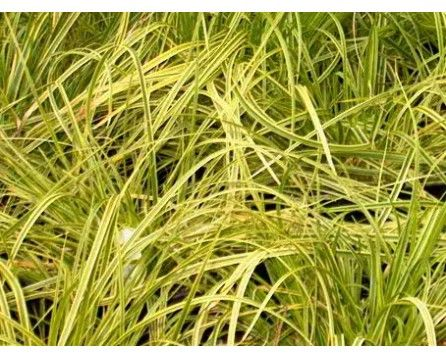 Turzyca (Carex dolichostachya) Gold Fountain (Kaga Nishiki) - Szkółka Bylin | KrainaBylin