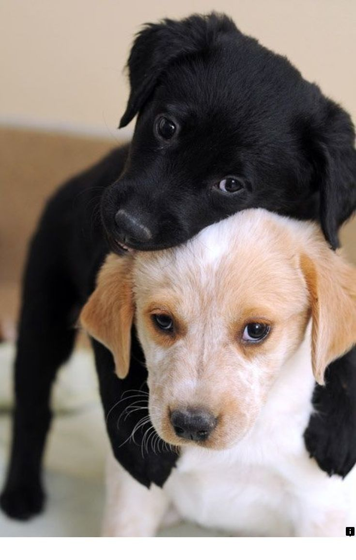 Discover More About Yellow Lab Puppies Simply Click Here To Learn