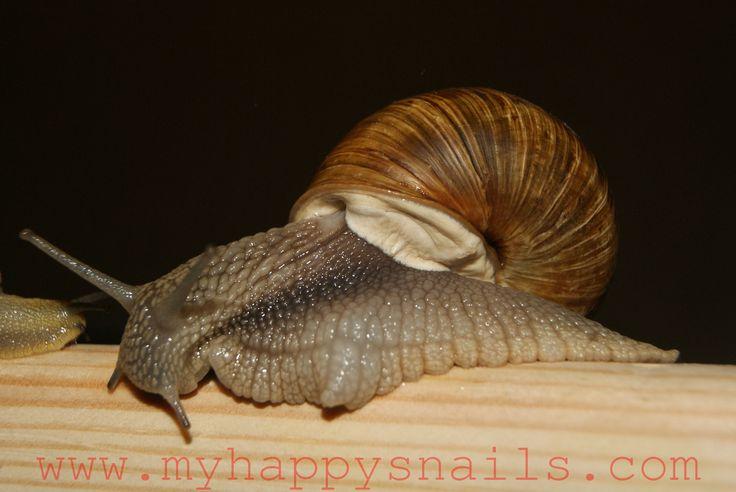 Big Garden snail Helix Pomatia or Roman snail