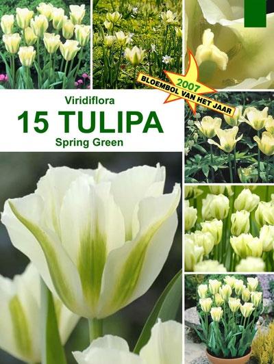 Tulpan 'Spring Green', Storpack:   (Tulipa viridiflora)   Viridifloratulpan med fräscha blommor i vitt och grönt. Blommar sent på våren. Hållbar snittblomma. Vill ha en näringsrik jord som är väldränerad. Härdig i större delen av landet. Blir ca. 50 cm hög. Lökstorlek 11/12. 15 lökar.
