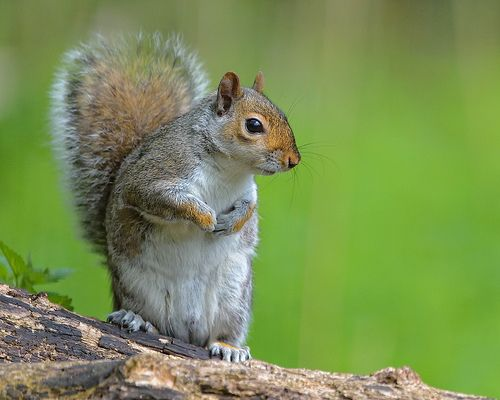 Standing Squirrel by Rivertay07 - thanks for over 2 million views, via Flickr