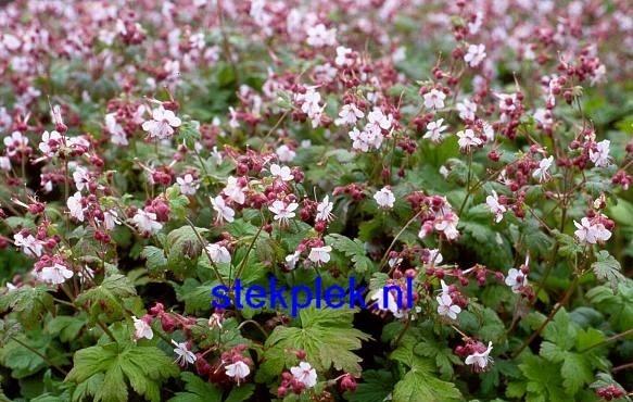 Geranium macrorrhizum `Spessart` | VASTE PLANTEN | Tuinplanten stekplek