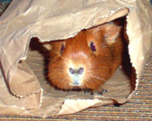 Piggies think burrowing and nibbling are fun.       A guinea pig's idea of fun differs a lot from other pet's ideas of fun. Although you may come across balls and wheels in pet shops or online stores that say they are toys for guinea pigs, they are...