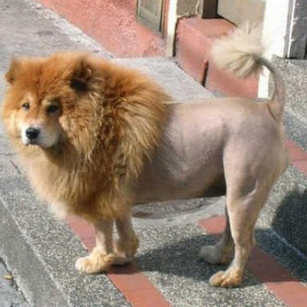 Huge Dogs That Look Like Lions