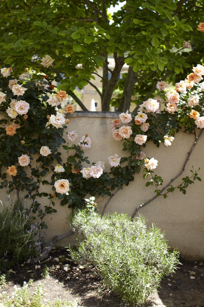 climbing roses against garden wall