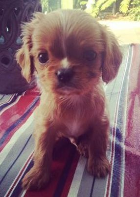 Pin By Susan Berman On Dogs King Charles Puppy King Charles Spaniel Cavalier King Charles