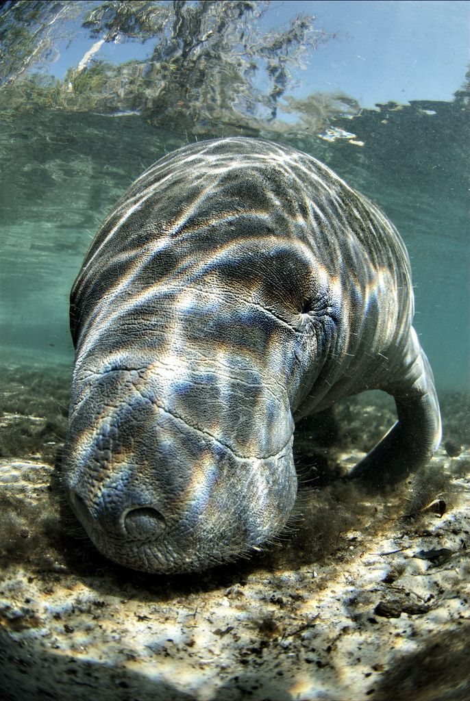 Manatee (ok, maybe not the prettiest creature but they just radiate so much gentleness when one swims up beside you)