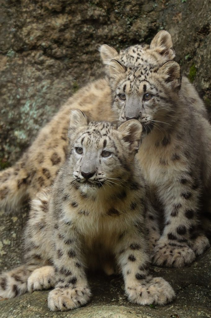 ~~Snow Leopard Cubs by No. Ge.~~