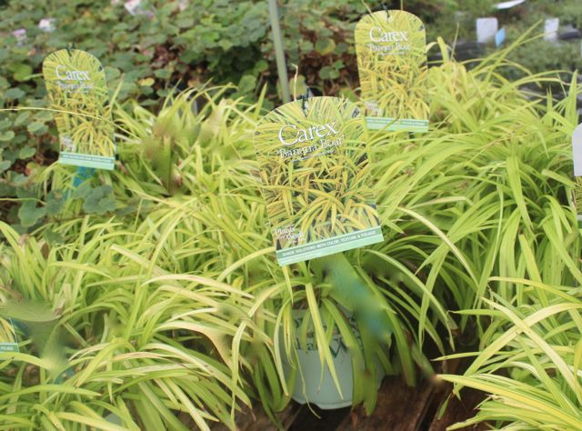 104 best images about ornamental grasses at the barn for Ornamental grass yellow