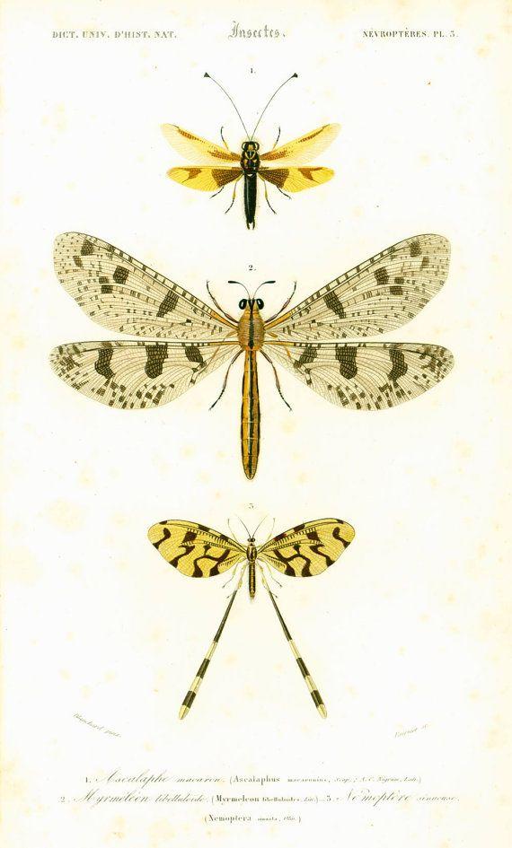 1861 Ascalaphe macaron Myrméléon libelluloide gravure ancienne Ch. d' Orbigny Original Libellule  Lithographie entomologie