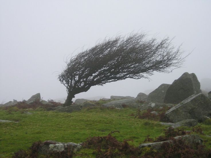 Windswept tree by the Cheesewring