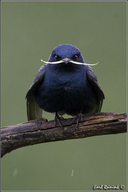 Bird Moustache