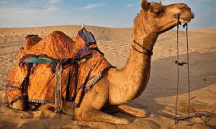 राजस्थान: गर्मी से बौखलाए ऊंट ने चबा डाला मालिक का सिर