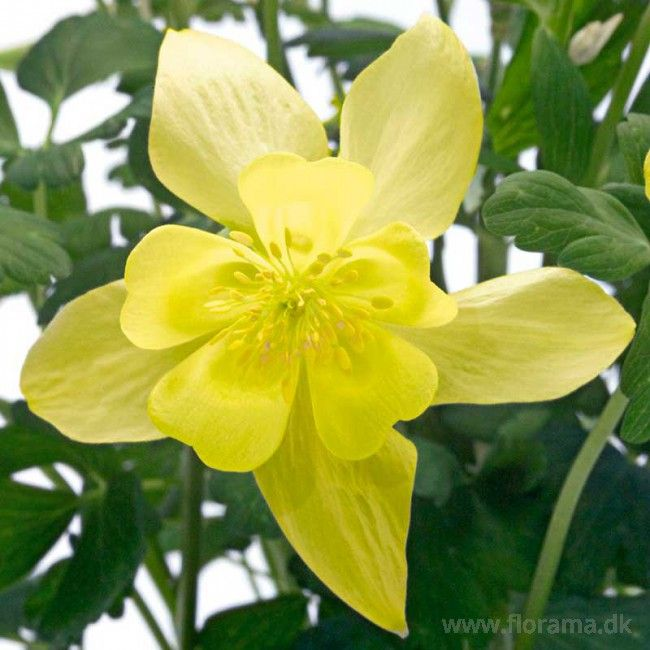 Akeleje 'Spring Magic Yellow'