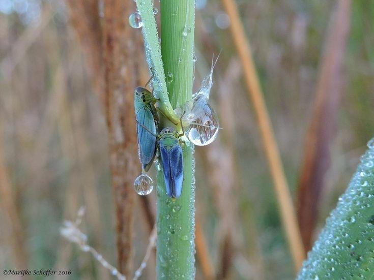 Grote druppels, kleine cicade - Een blauw insect met de naam de groene rietcicade. Hoe zit dat? Deze cicade is een van de weinige insecten waarbij de mannetjes een andere kleur hebben dan de vrouwtjes. De dames hebben namelijk grasgroene dekvleugels en de heren blauwgroene tot blauwzwarte. Fotograaf MarijkeScheffer