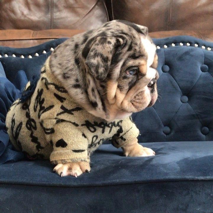 French Bulldog Puppies Tumblr French Bulldog Puppies Tumblr