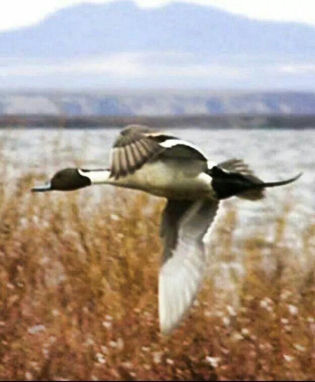 bottom duck hunting black