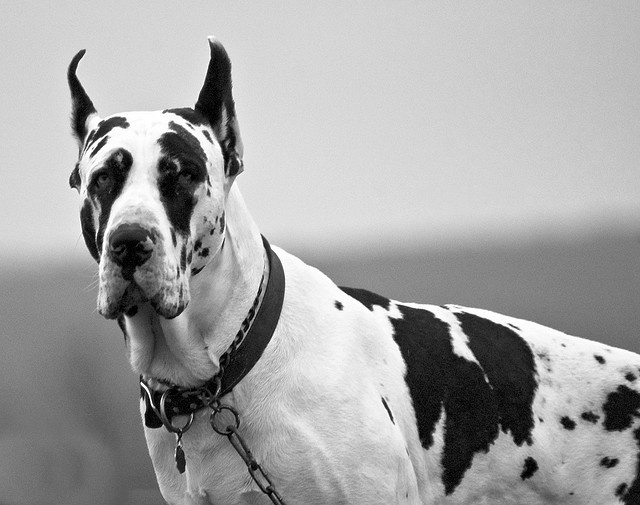 Black And White Great Dane Pictures to Pin on Pinterest ...