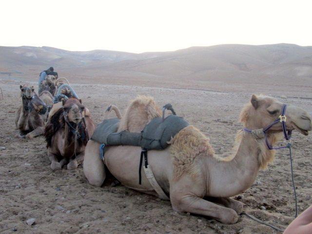 Israel 2013; Camel Trekkin
