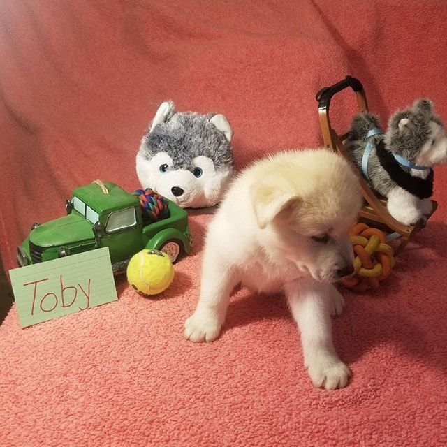 Toby Mixed Breed Puppies In Houghton Lake Michigan For Sale Puppies Mixed Breed Puppies Puppies Dog Friends