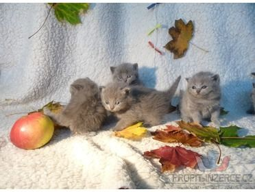 britská modrá koťátka [kx.jpg]
