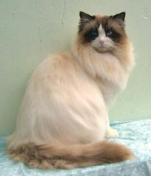 Ragdoll: the next breed cat I want to live with