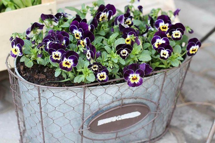 Pred dom si môžete vysadiť napríklad mini sirôtky  Kvitnúť vám budú až do pol leta  #kvetysilvia #kvetinarstvo #kvety #green #love #instagood #cute #follow #photooftheday #beautiful #tagsforlikes #happy #like4like #nature #style #nofilter #pretty #flowers #design #awesome #spring #home #handmade #flower #summer #interior #floraldesign #floral #naturelovers #picoftheday