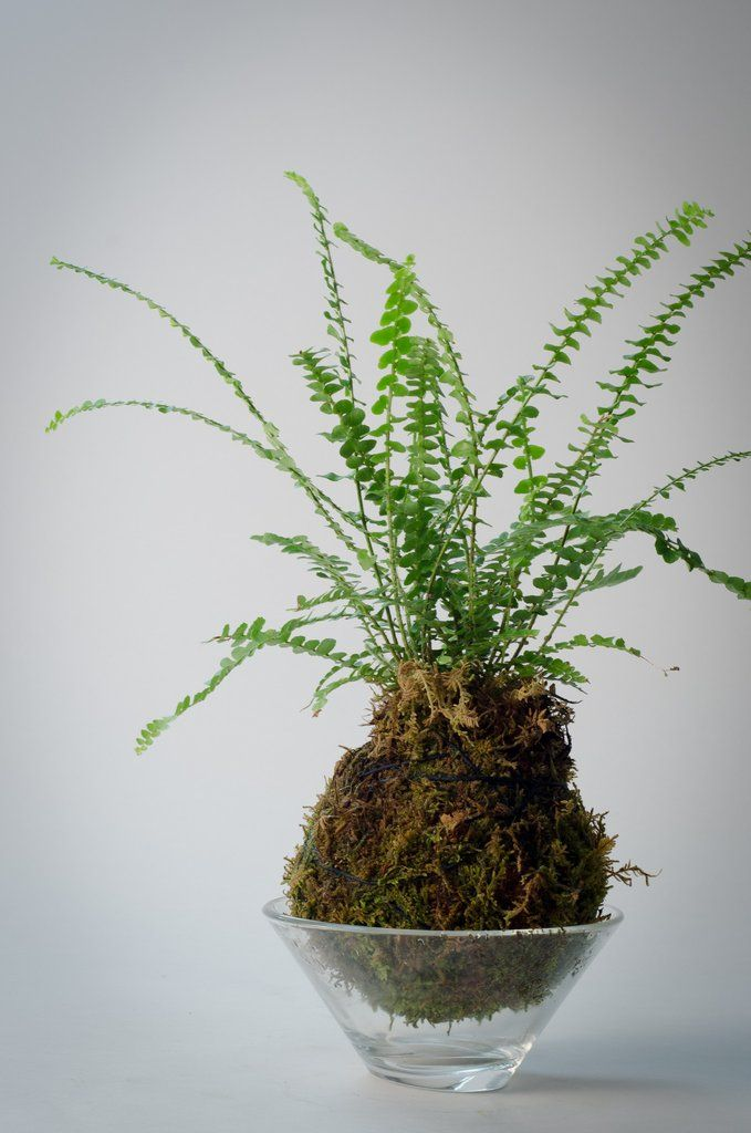 Kokedama - Fern Moss Ball with glass bowl - Bloom Couture
