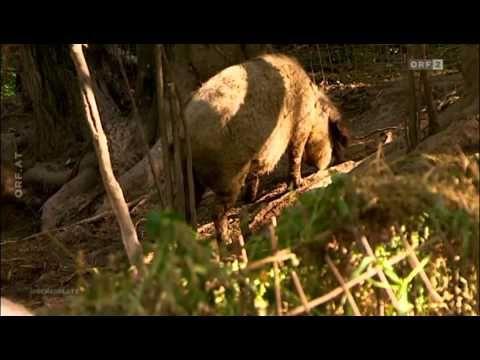 ORF-AM SCHAUPLATZ: Dokumentation Arme Sau vom Do, 09.01.2014 - YouTube