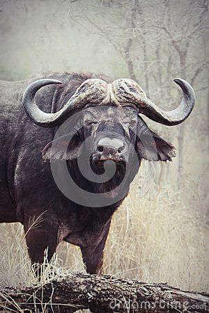 An old male African Buffalo in typical savannah habitat