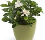 Gardenia jaśminowata