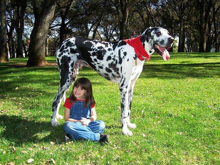 Самая большая собака в мире (фото): Зевс и его «коллеги»  Смотри больше http://kot-pes.com/samaya-bolshaya-sobaka-v-mire/
