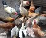 Darag Native Chicken Production Guide - Business Diary Philippines
