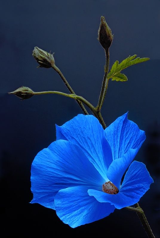 Beautiful Blue Flower - Want to see more beautiful images? Printmaker Sarah Angst creates amazing print & watercolor images of landscapes, animals, flowers, and more... Visit www.sarahangst.com to see her art! #sarahangst