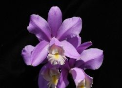 A lavender orchid is a symbol of grace, elegance, and feminine beauty.