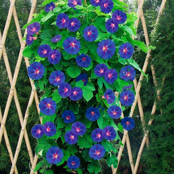 FLEURS - PLANTES:  Ipomea,ou volubilis des jardins          L'ipomea...