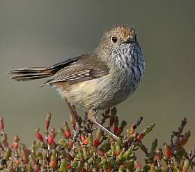 Brown Thornbill | BirdLife Australia