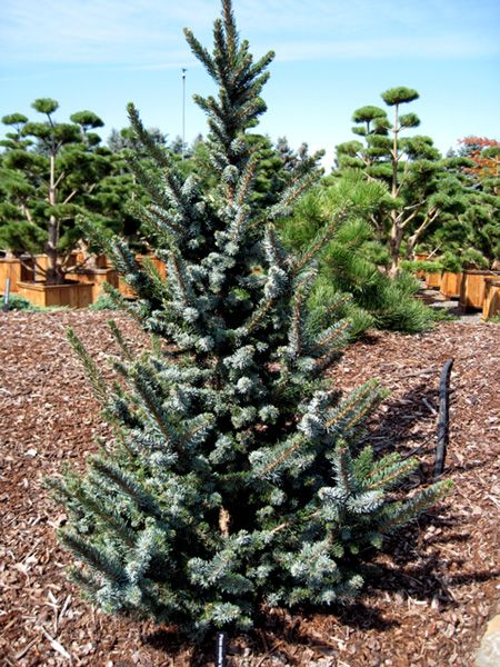 Serbian spruce picea omorika de ruyter is a small slow for Small slow growing evergreen trees