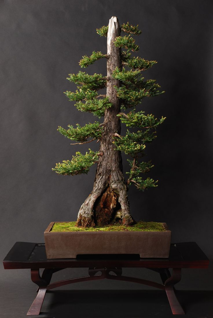 Coast Redwood   This would be perfect to have, being originally from California and all.