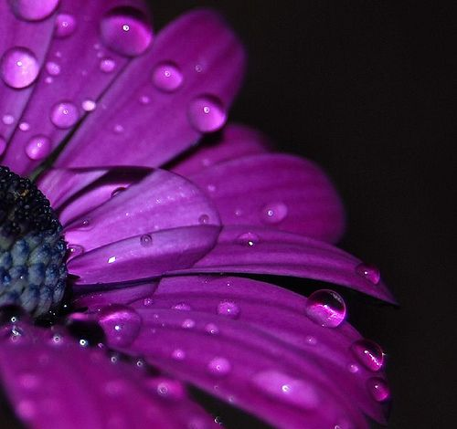 RaindropsFotos Colors, Beautiful Colors Kss, Purple Flowers, Raindrop, Dark Purple, Power Flower, Coors Fields, Purple Daisies, Droplets