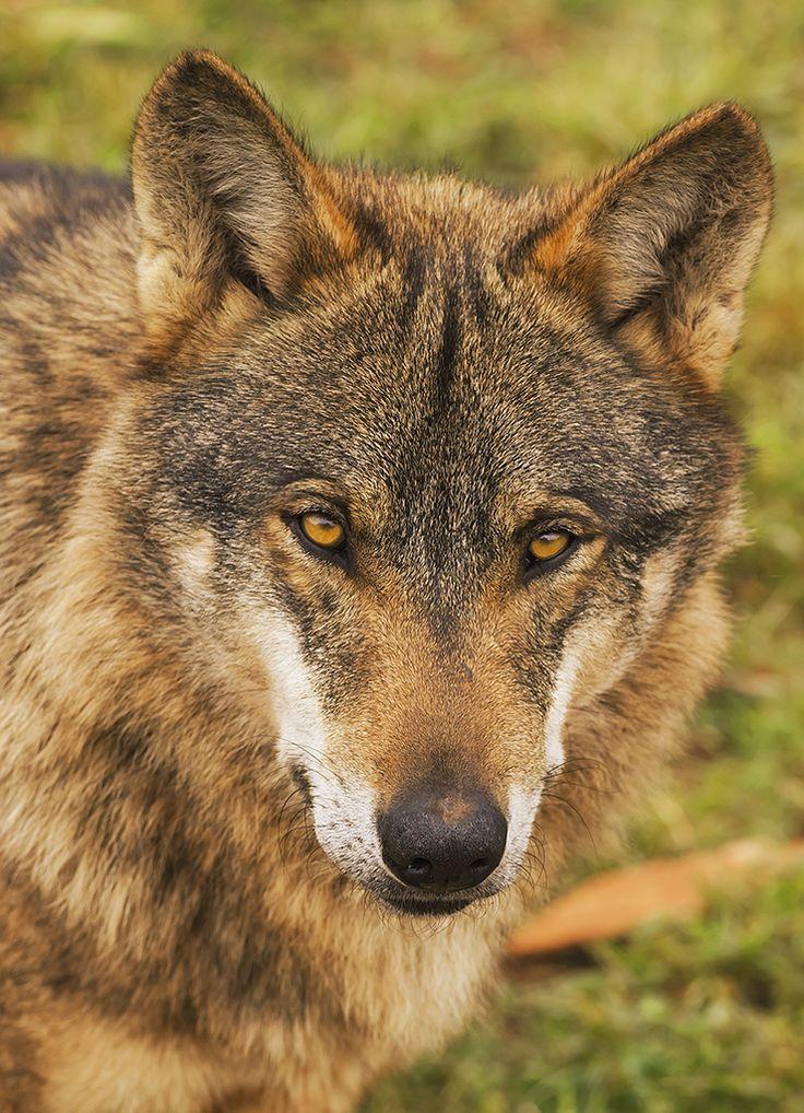 Lobo Ibérico (Canis lupus signatus)  Foto: Angel M. Sanchez