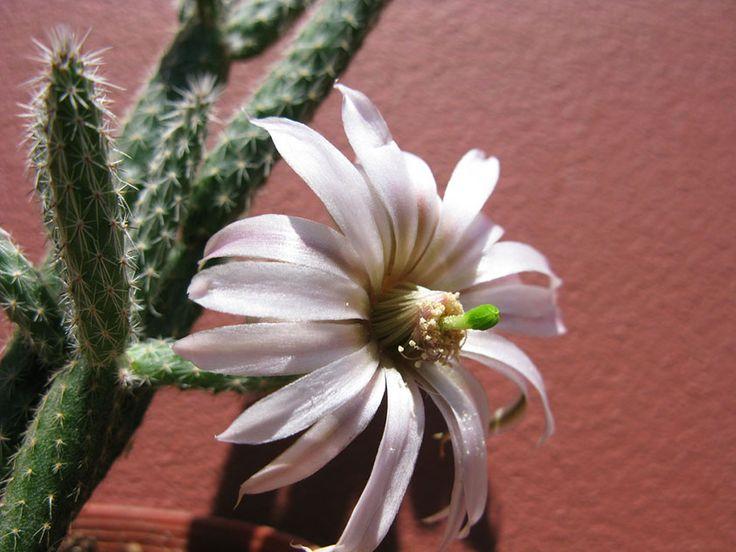 Вилькоксия белоцветковая - Wilcoxia albiflora, вилькоксия фото