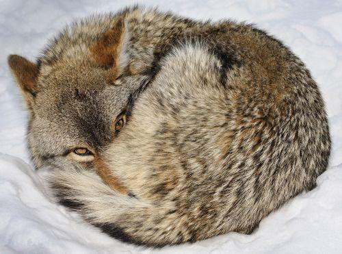 beautiful-wildlife:  CoyotebyJocelyne Feizo